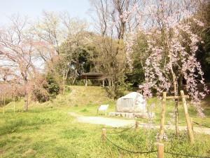 桜、太宰府政庁跡(都府楼跡)
